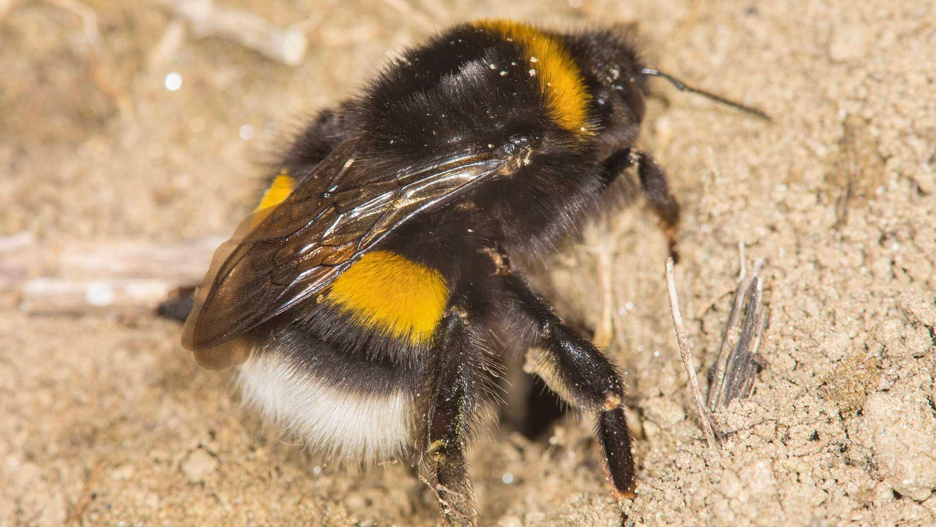 Warum sind Hummeln wichtig? Hummeln sind sehr wichtige Bestöuber, effektiver als zum Beispiel Honigbienen.