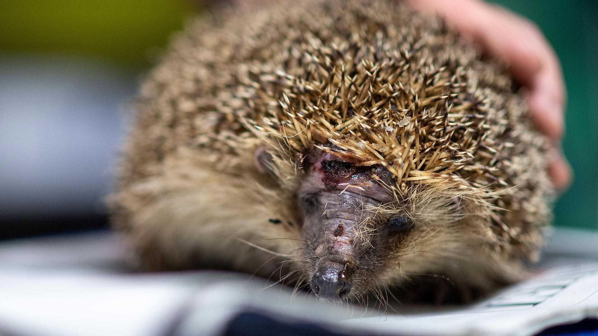 Mähroboter sind gefährlich für Igel und auch eine tödliche Gefahr für andere Tiere im Garten.