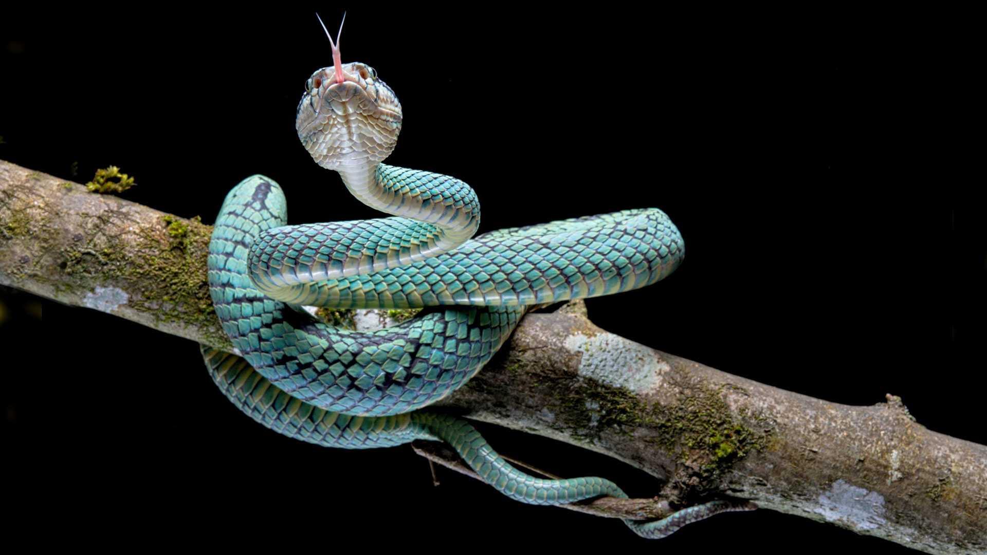 Warum züngeln Schlangen? Warum ist ihre Zunge gespalten?