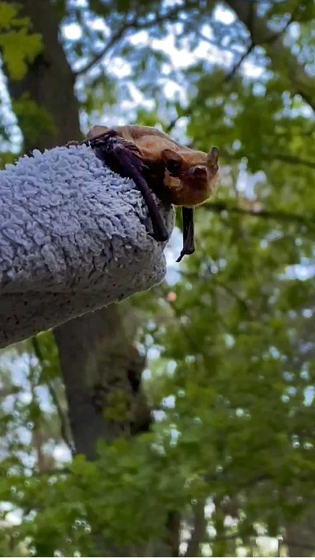 Fledermaus gefunden: Der Fledermaus richtig helfen: Tipps