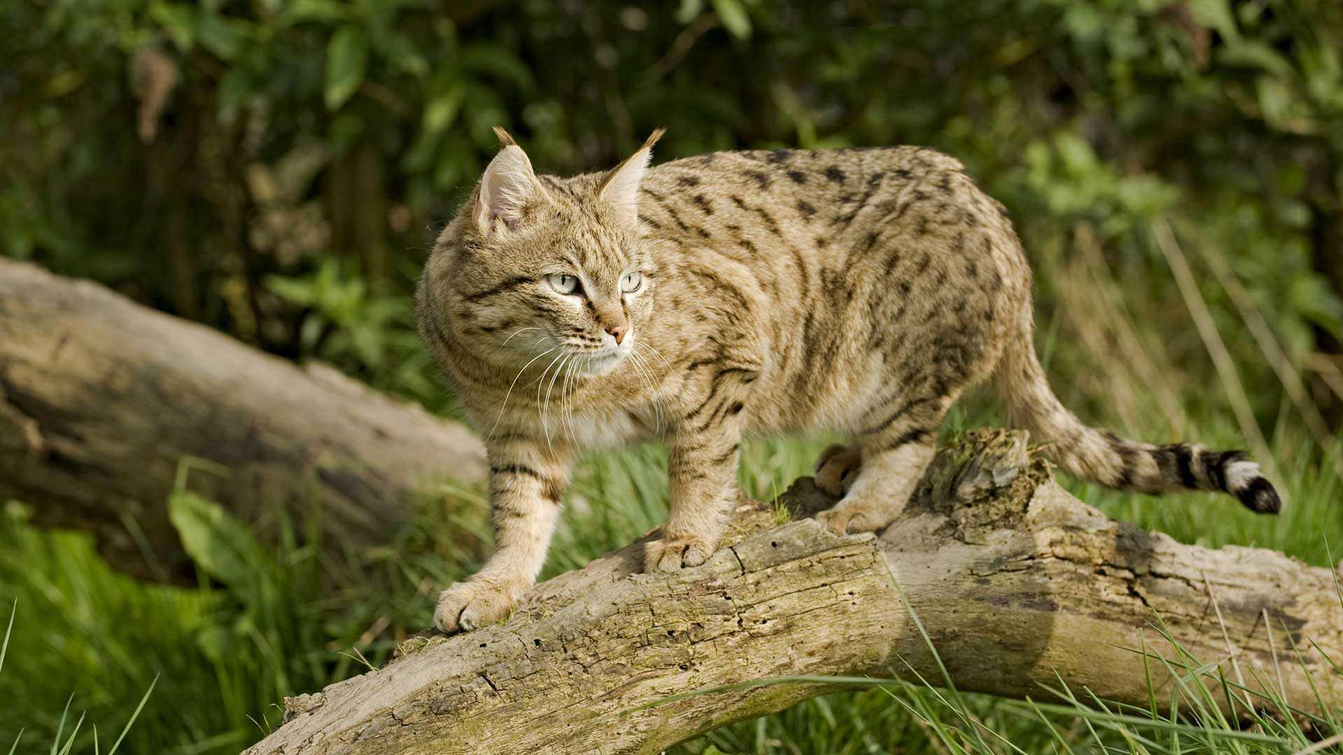 Asiatische Steppenkatze, die letzte der drei Arten von Wildkatzen