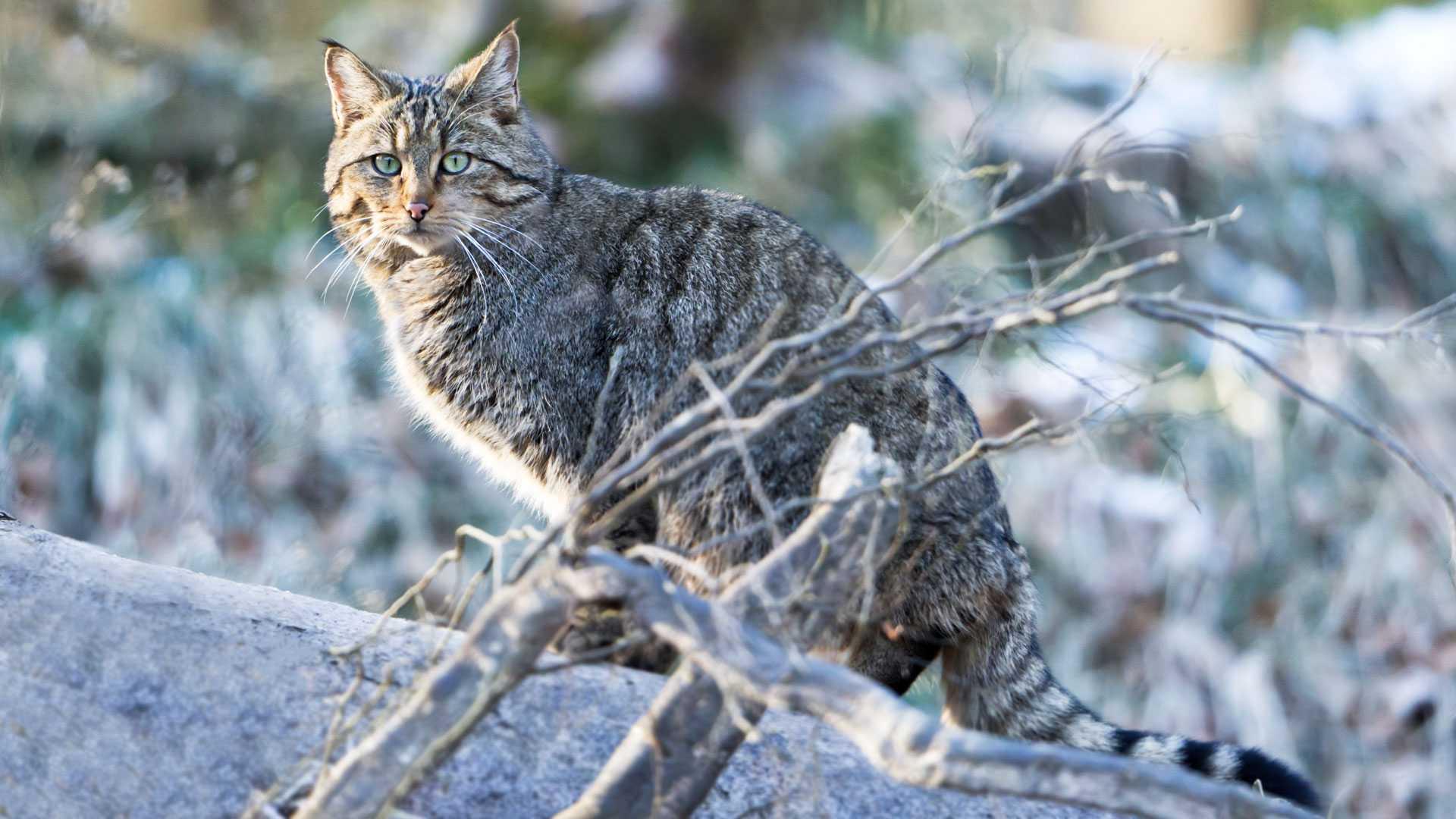 Wie kann man Waldkatzen von Hauskatzen unterscheiden?