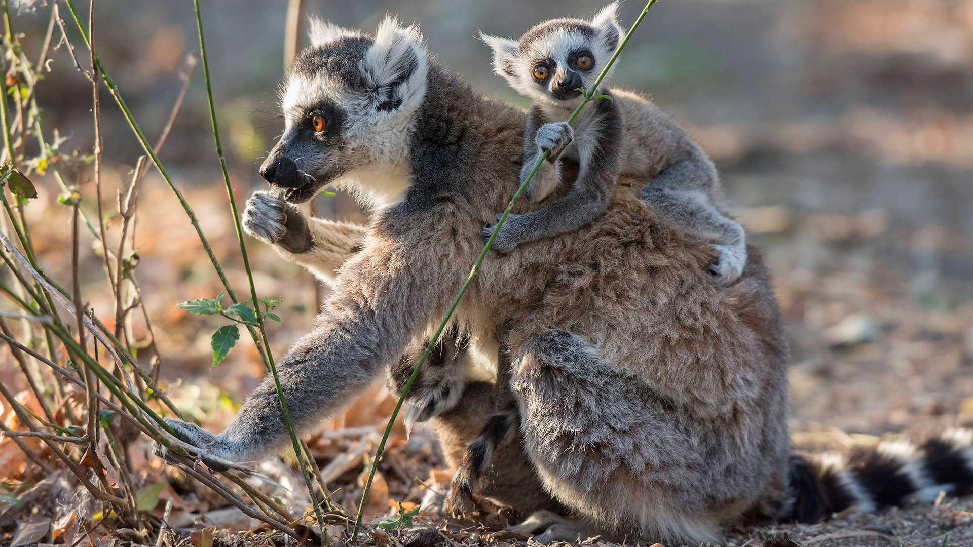 Madagaskar Ringelschwanzlemuren Katta Catta