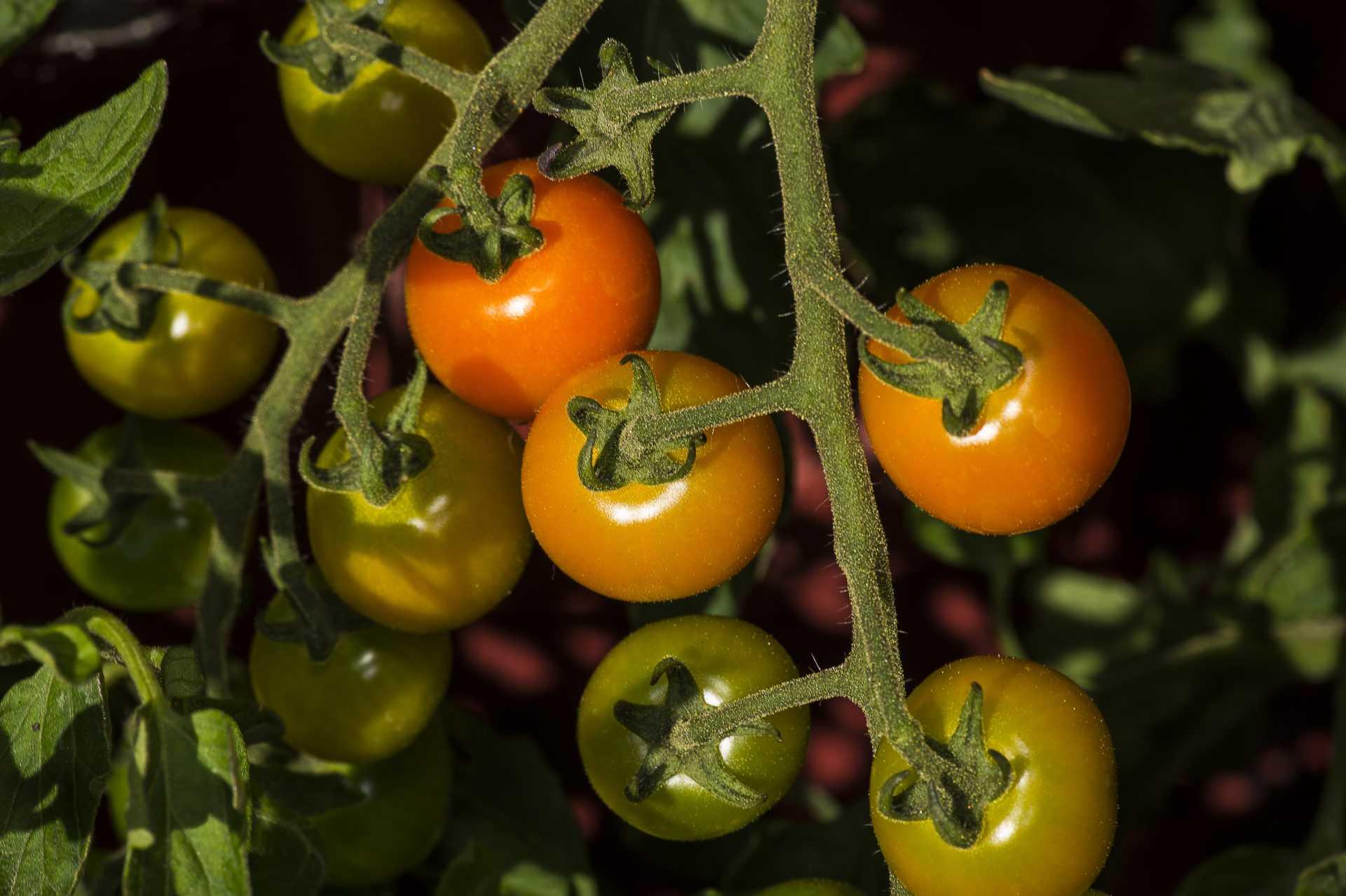 Süßwasser in der Landwirtschaft: Wasserschlucker Tomaten