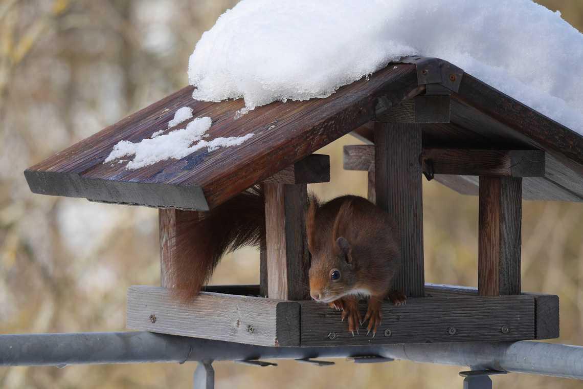 Sind die Eichhörnchen nach dem heißen Sommer wirklich dem Hungertod nahe? Müssen wir sie füttern? Was muss ich beim Eichhörnchen-Füttern beachten? Ein großes Vogelhaus ist gut geeignet!